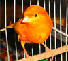 Historia de las aves como mascotas
