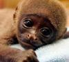 ¿Por qué no comprar un mono como mascota?