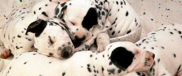 Medidas para asegurar la compra de un perro de raza