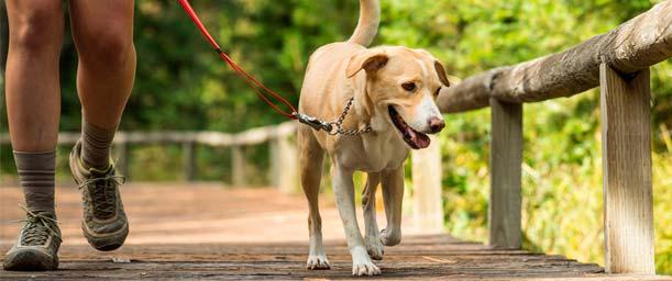 El collar, la correa y el bozal para nuestros perros.
