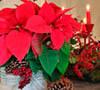 Origen de la planta, Flor de Navidad